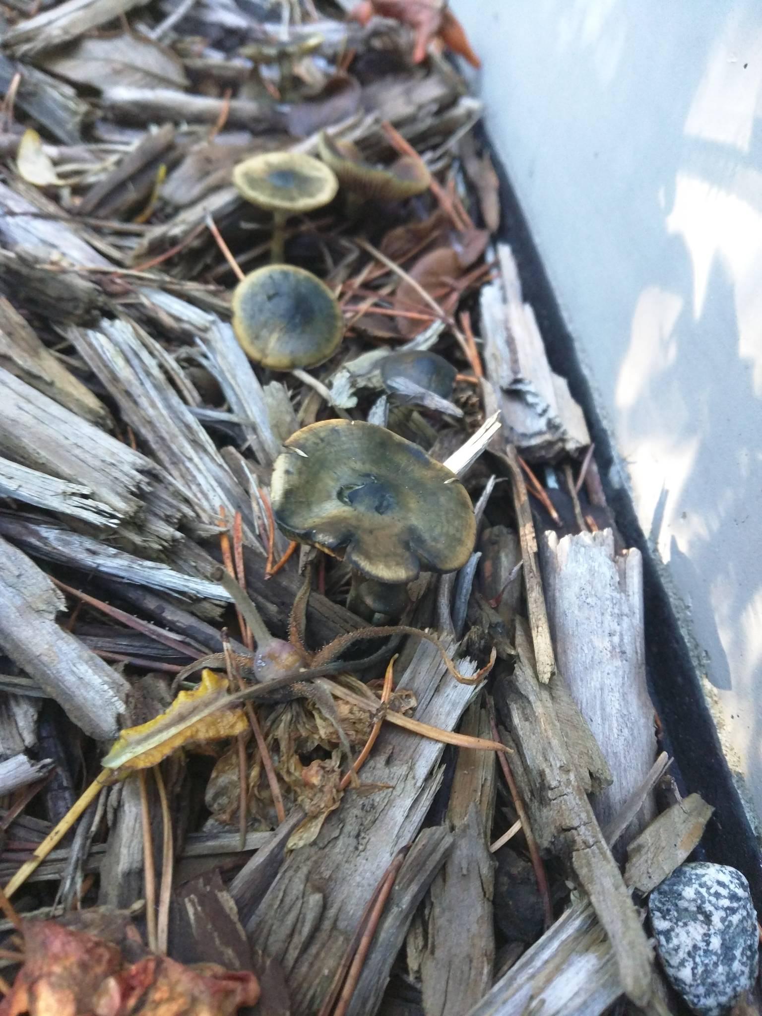 PNW: Psilocybe cyanescens with blackening on caps