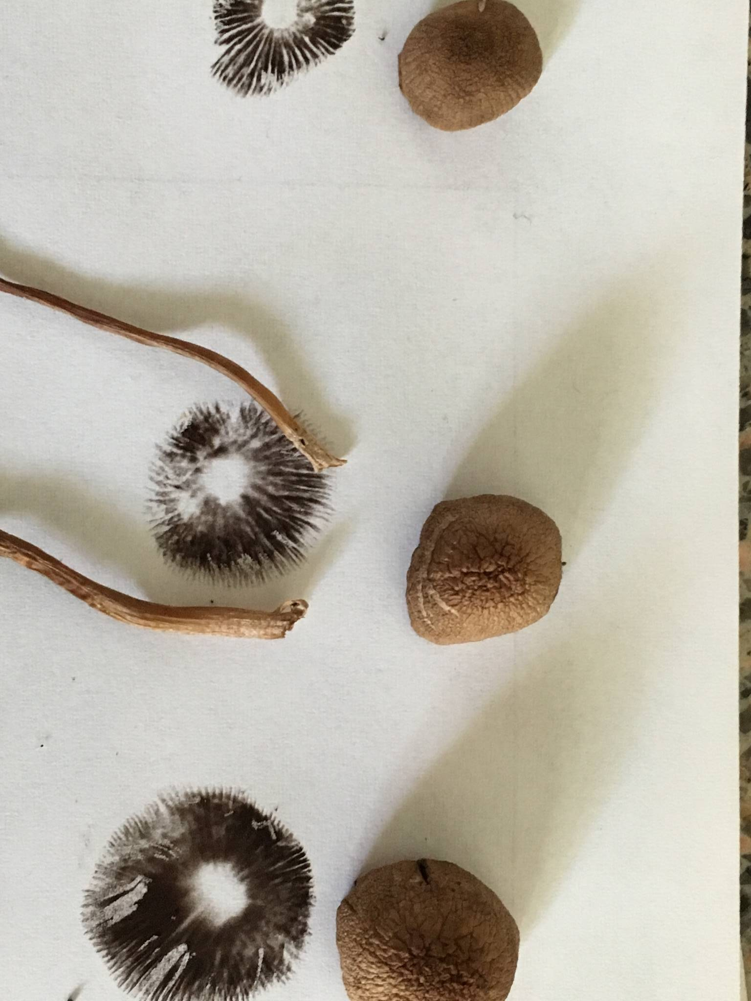how to make a spore print shroomery