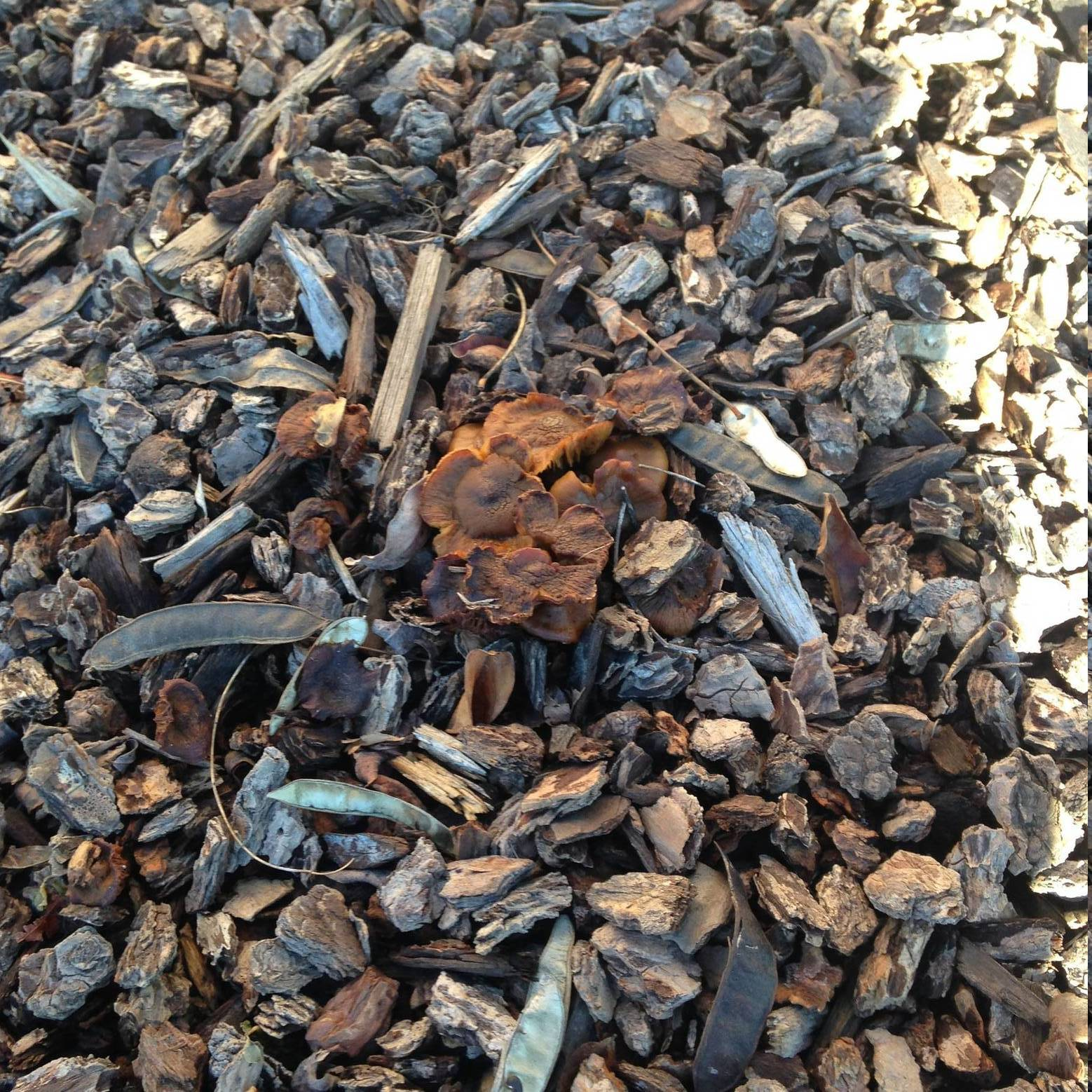 Small brown clusters in wood chips ashland or mushroom