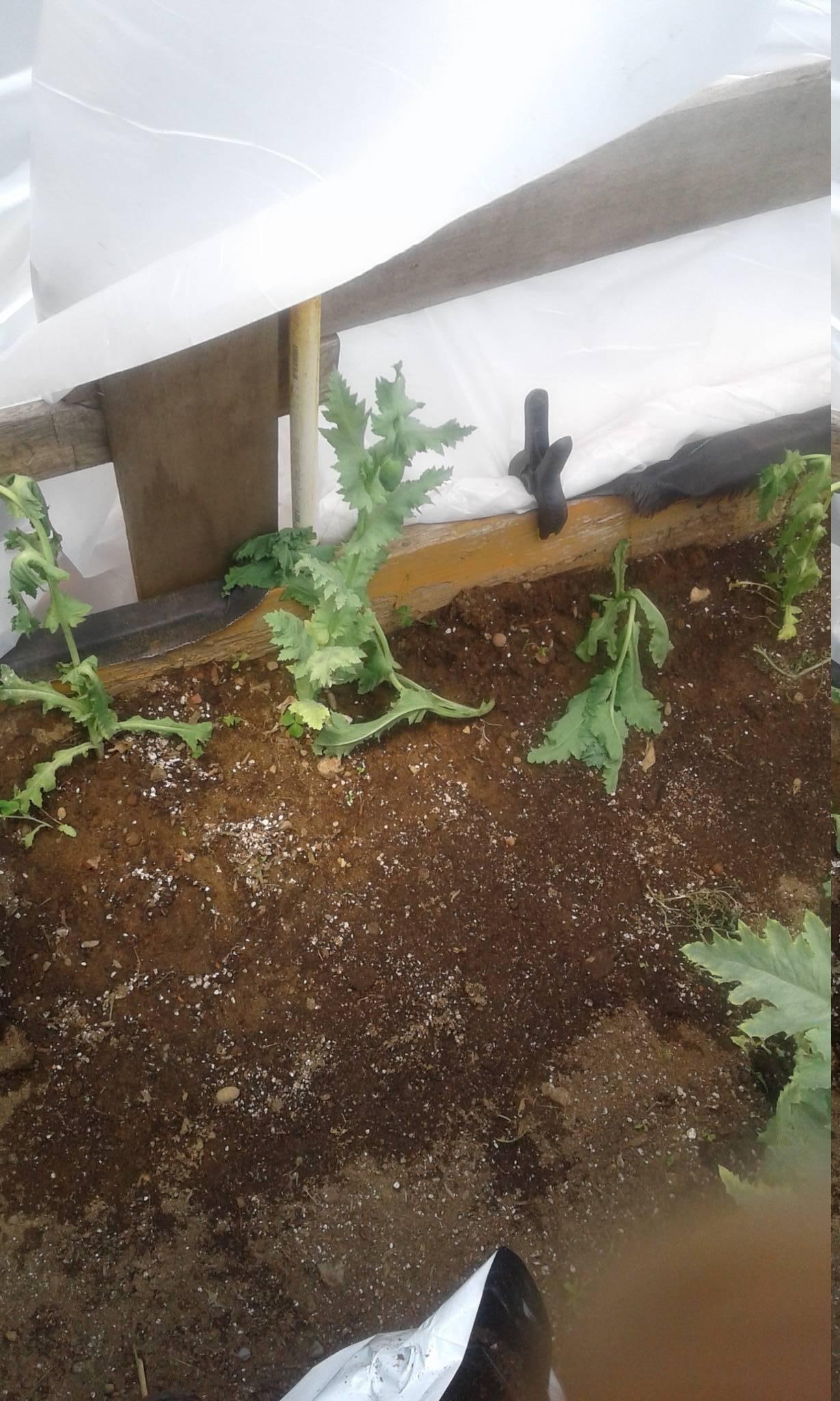 Transplanting poppies NEVER works. - The Ethnobotanical Garden ...