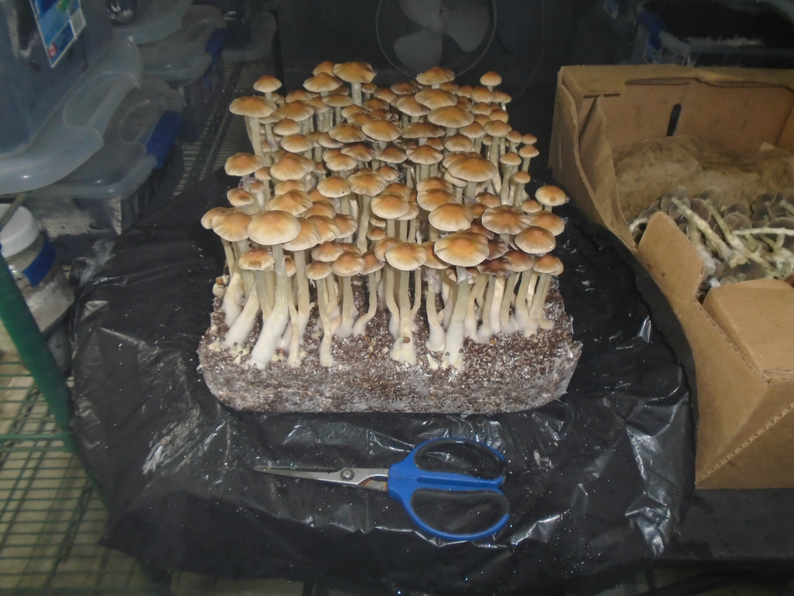 Post Your Cultivation Picture of The Day - Mushroom Cultivation