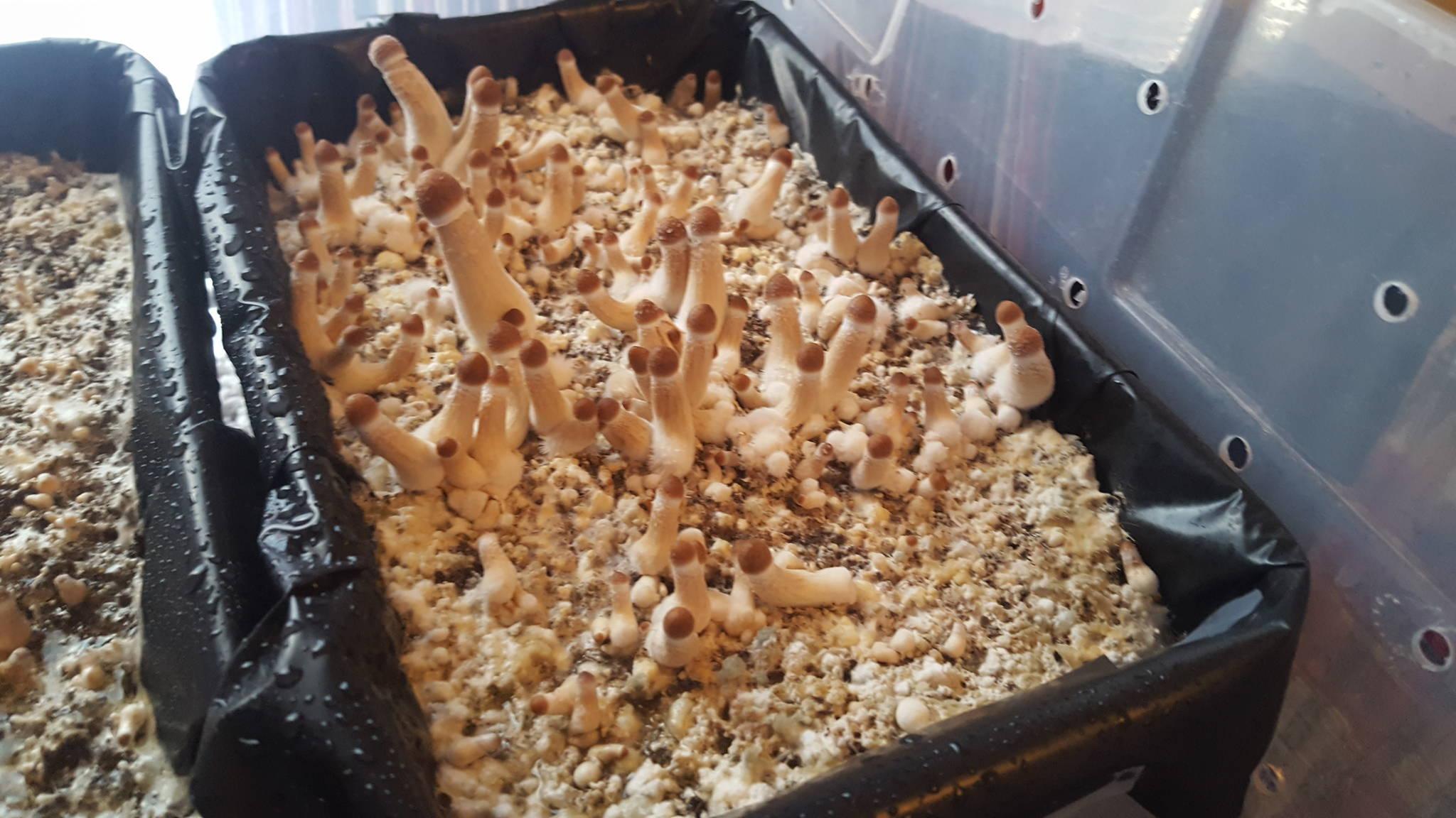 PIN PORN* - Mushroom Cultivation - Shroomery Message Board
