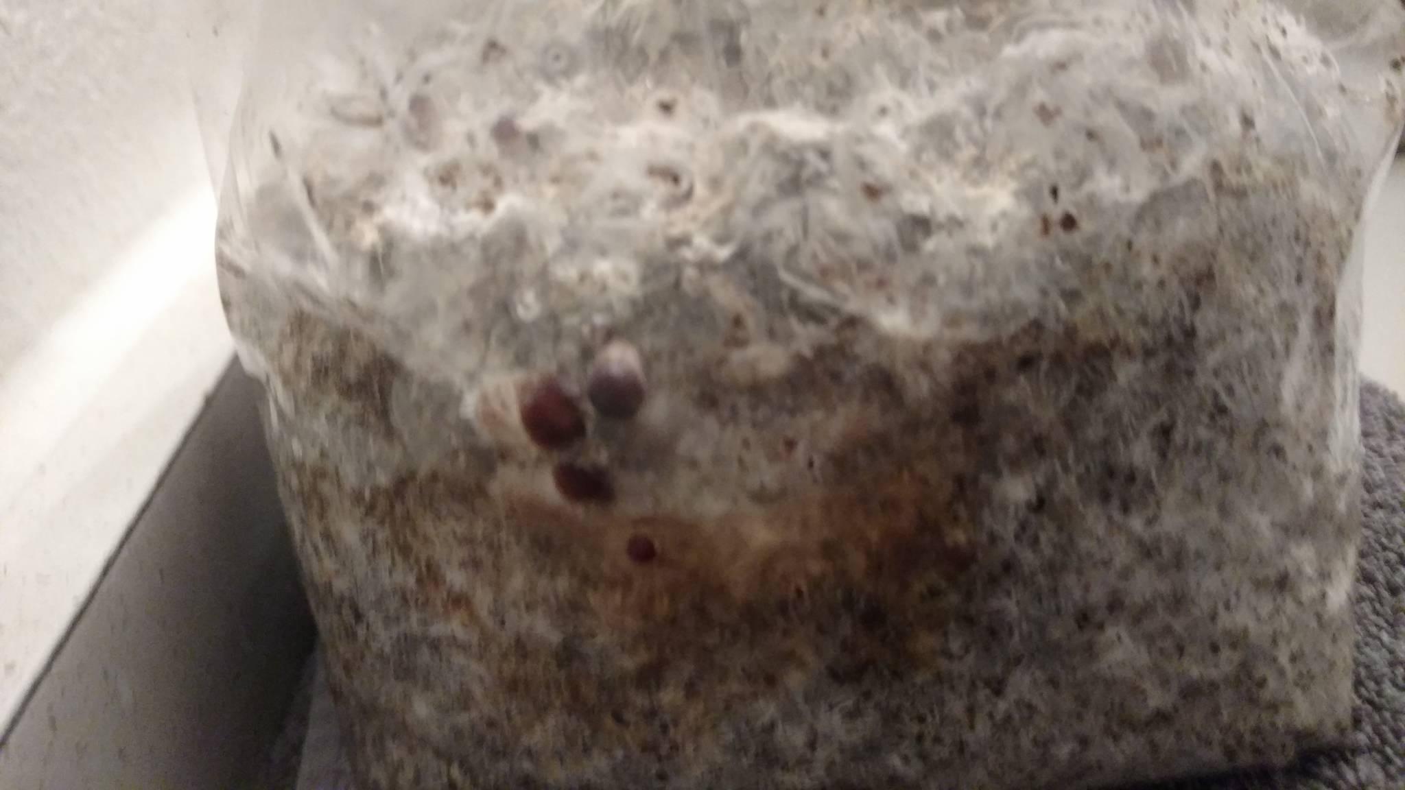 Newby idiot) Too dry? Too moist? - Mushroom Cultivation