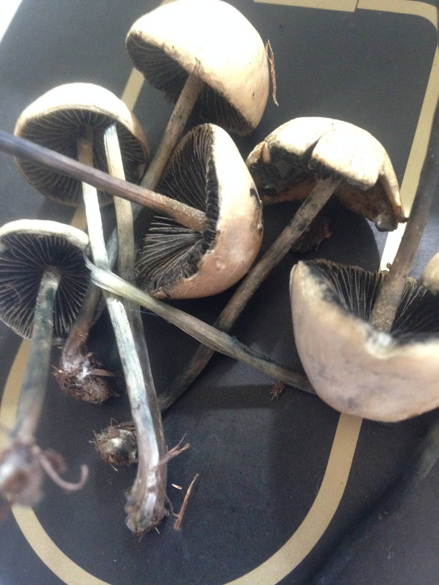 Help Identifying These Mushrooms Are They Psychedelic