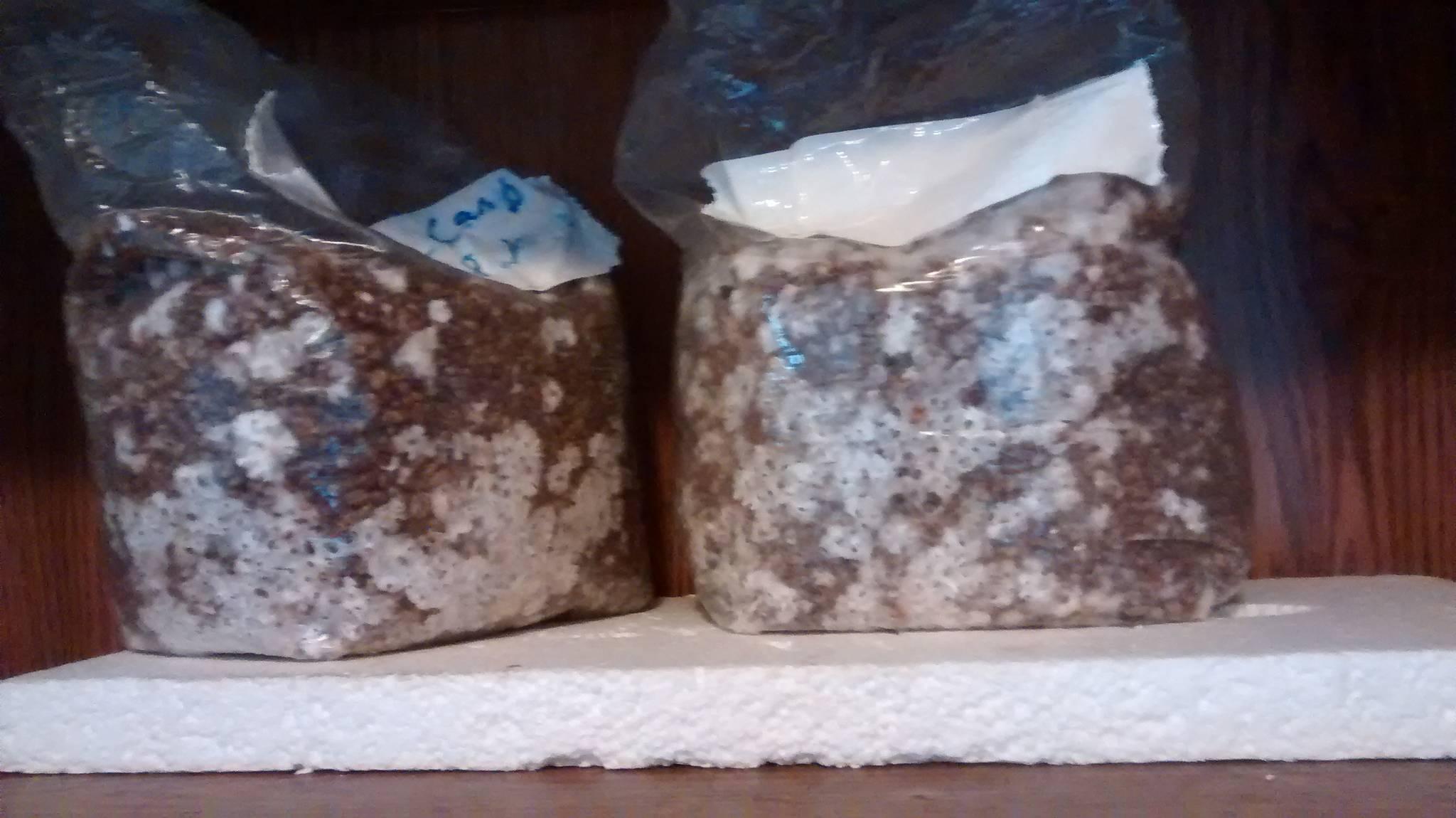 Experimental spawn bag update! - Mushroom Cultivation