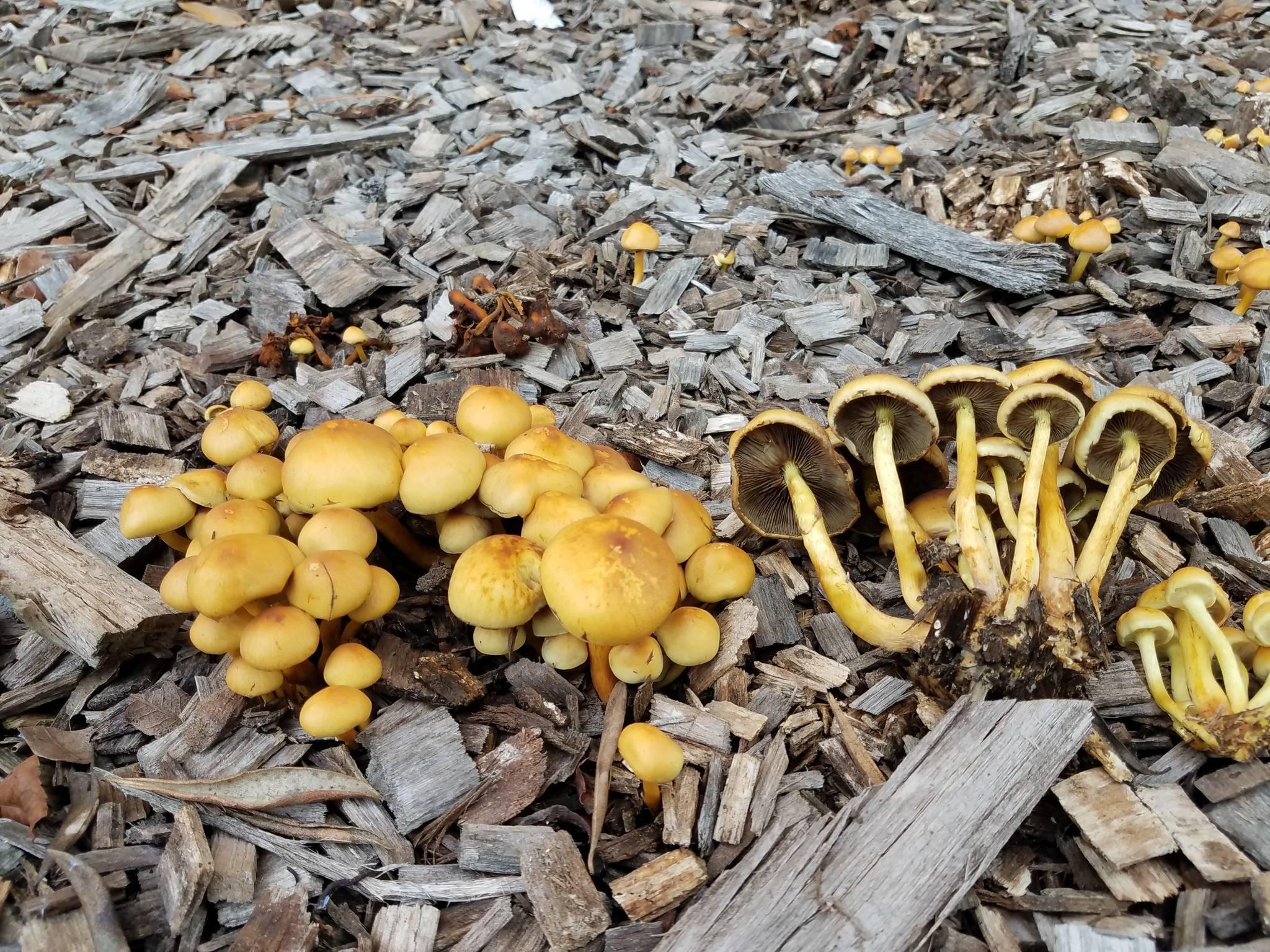 A few Bay Area mushrooms - Mushroom Hunting and Identification