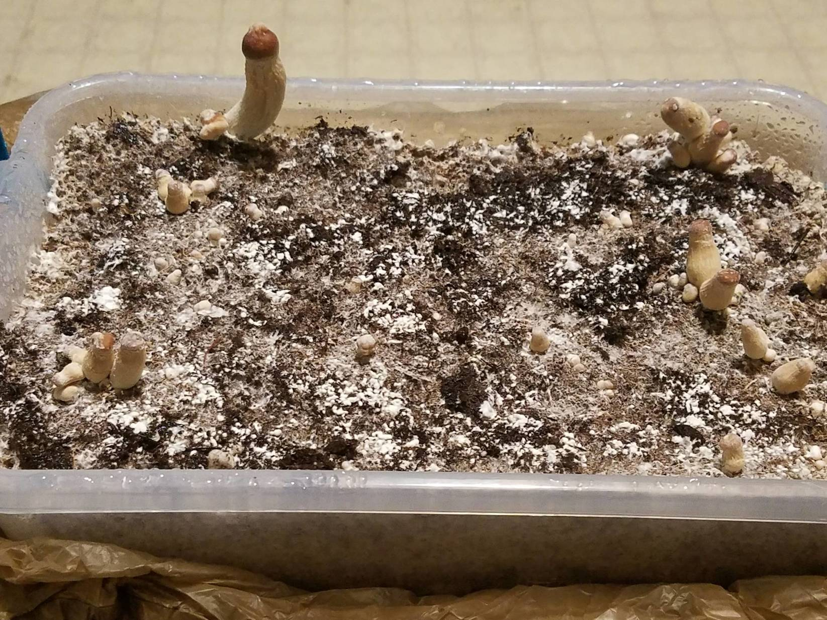 Psilocybe Cubensis Growth Stages