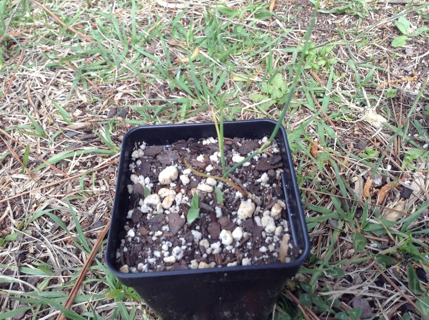Ephedra sinica grown in water - The Ethnobotanical Garden