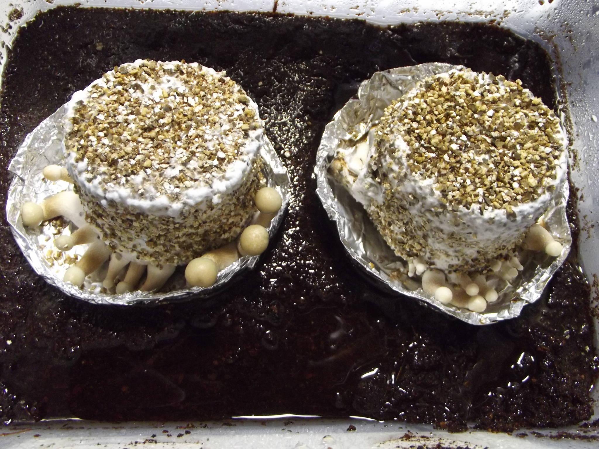 Shroomery Brf Cake To Bulk
