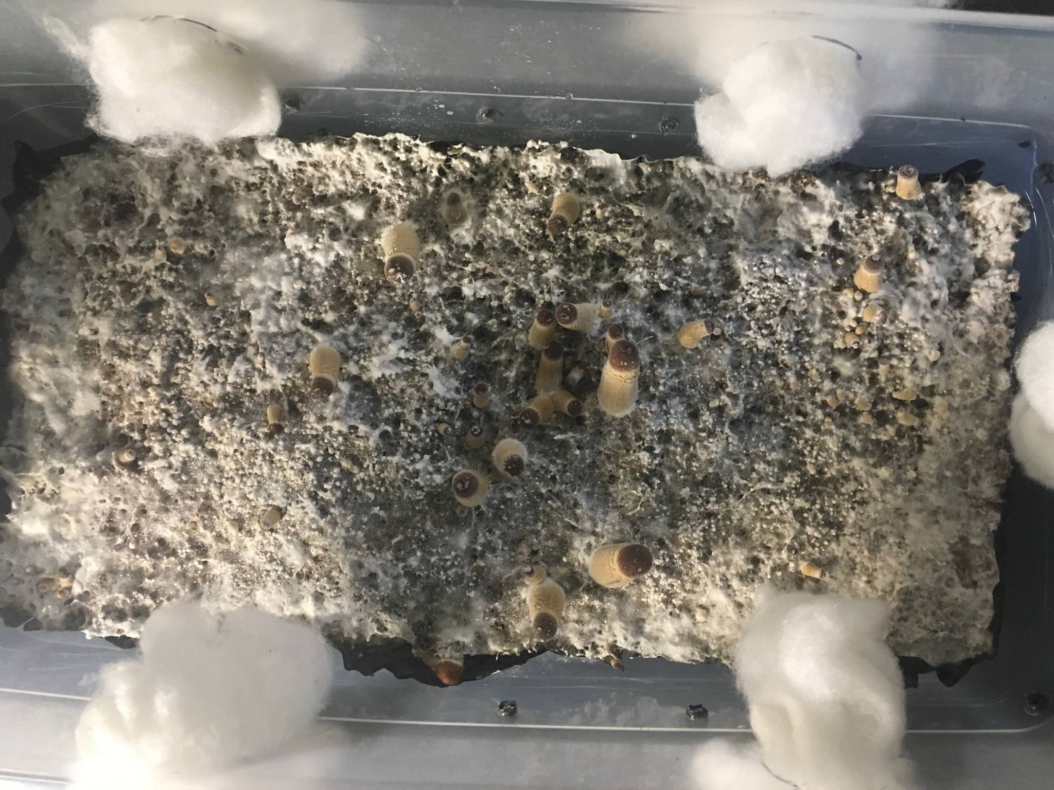 First monotub, how does the pinning look? - Mushroom
